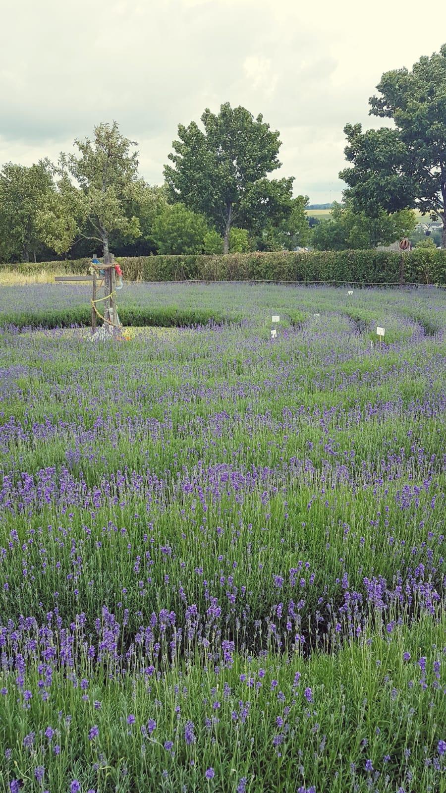Foto - Lavendel-Labyrinth