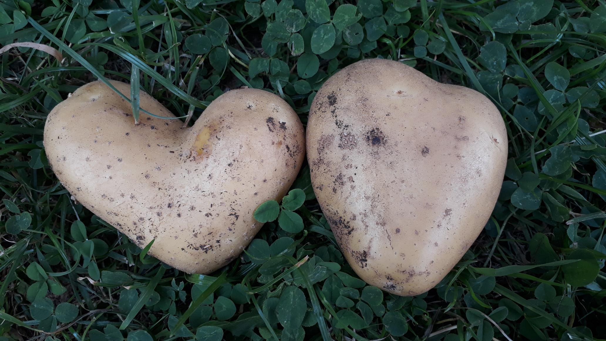 Foto - Herz Kartoffeln AS